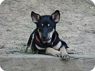 German Shepherd Dog/Shiba Inu Mix Puppy for adoption in Haggerstown, Maryland - Serena