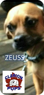 Pug/Dachshund Mix Dog for adoption in Strattanville, Pennsylvania - ZEUSS