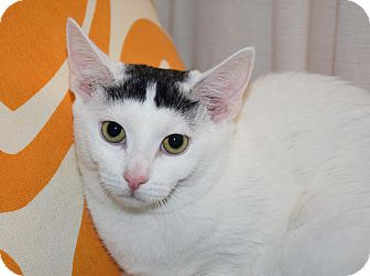 Domestic Shorthair Cat for adoption in Bristol, Connecticut - Bo & Blaze