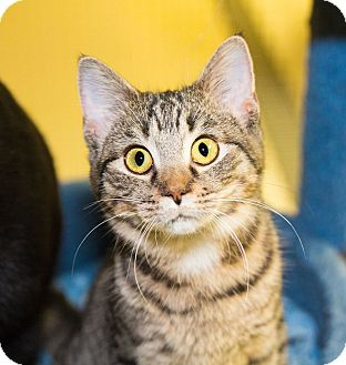 Domestic Shorthair Kitten for adoption in Seville, Ohio - Morris