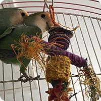 Adopt A Pet :: Lovebird pair - Punta Gorda, FL