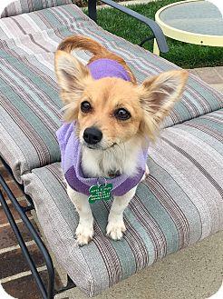 Chihuahua Dog for adoption in La Verne, California - Alice
