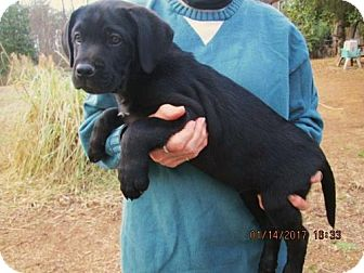 Labrador Retriever/Pointer Mix Puppy for adoption in South Burlington, Vermont - BUTCH