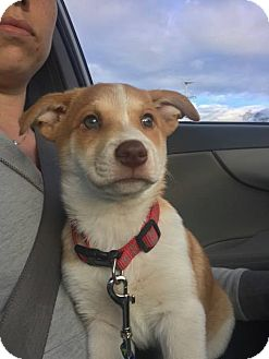 Australian Cattle Dog/Labrador Retriever Mix Puppy for adoption in Phoenix, Arizona - Kona
