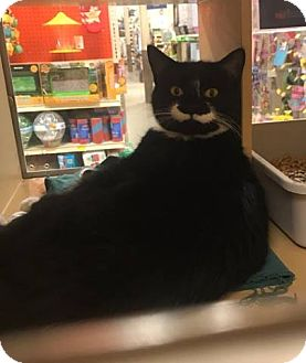 Domestic Shorthair Cat for adoption in North Haven, Connecticut - Penny