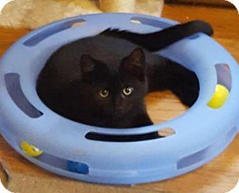 Domestic Shorthair Cat for adoption in Fishkill, New York - Catman