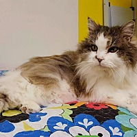 Domestic Longhair Cat for adoption in Hanna City, Illinois - Adele