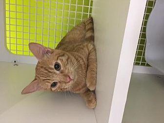 Domestic Shorthair Cat for adoption in San Antonio, Texas - Cooper
