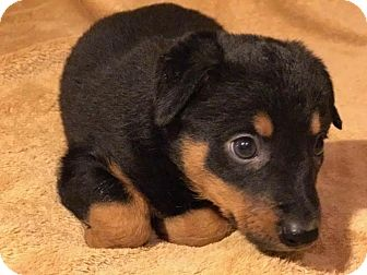 Doberman Pinscher/Shepherd (Unknown Type) Mix Puppy for adoption in Cave Creek, Arizona - Amelia