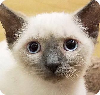 Siamese Kitten for adoption in Irvine, California - Kade