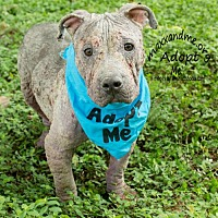 Staffordshire Bull Terrier Mix Dog for adoption in Tampa, Florida - Rourke FOSTER NEEDED