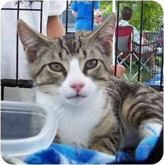 Domestic Shorthair Kitten for adoption in Olive Branch, Mississippi - Puddy Tat
