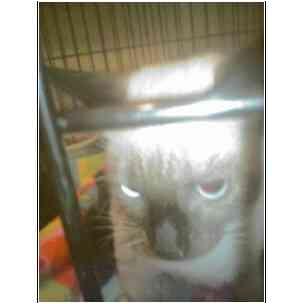 Siamese Kitten for adoption in Owasso, Oklahoma - Bambi