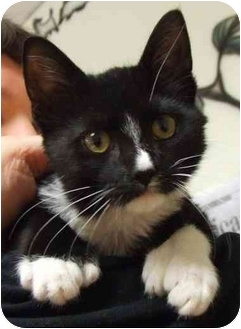 Hemingway/Polydactyl Kitten for adoption in Lake Charles, Louisiana - Sheba