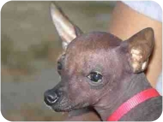 Xoloitzcuintle/Mexican Hairless Puppy for adoption in West Richland, Washington - Lance