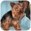 Photo 3 - Yorkie, Yorkshire Terrier Dog for adoption in North Benton, Ohio - Rosie