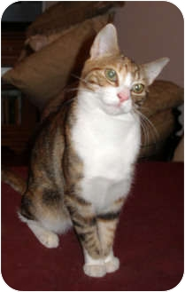 Calico Kitten for adoption in Cranford, New Jersey - Frankie