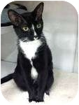 Domestic Shorthair Cat for adoption in Warren, Michigan - Oreo 4! $75 Adoption Fee!