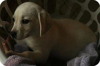 Westie, West Highland White Terrier Mix Puppy for adoption in Danbury, Connecticut - Mani