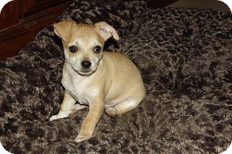 Chihuahua/Dachshund Mix Puppy for adoption in Phoenix, Arizona - Nugget
