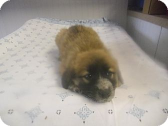 Great Pyrenees/Golden Retriever Mix Puppy for adoption in Rochester, New Hampshire - Carmel