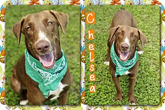 Chesapeake Bay Retriever Mix Dog for adoption in Corpus Christi, Texas - Chelsea