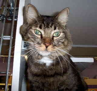 Maine Coon Cat for adoption in Scottsdale, Arizona - Cosby