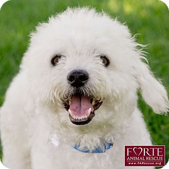 Bichon Frise Dog for adoption in Marina del Rey, California - Scruffy