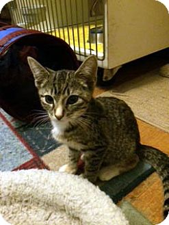 Domestic Shorthair Kitten for adoption in Overland Park, Kansas - Emmy