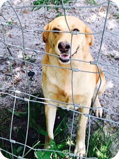 Labrador Retriever Mix Dog for adoption in Chiefland, Florida - Rainbow