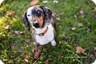 Dachshund Dog for adoption in Toronto, Ontario - Rizzo