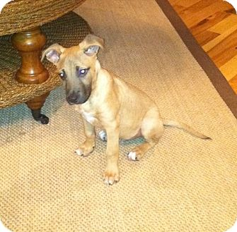 Boxer/Jack Russell Terrier Mix Puppy for adoption in Earl, North Carolina - Lennie