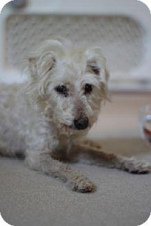 Maltese Dog for adoption in West Harrison, New York - Misty (GA)