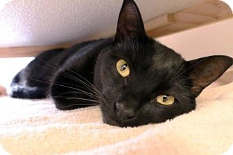 Domestic Shorthair Cat for adoption in Bellevue, Washington - Donna
