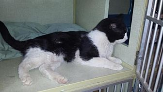 Domestic Shorthair Cat for adoption in Iroquois, Illinois - Barkley