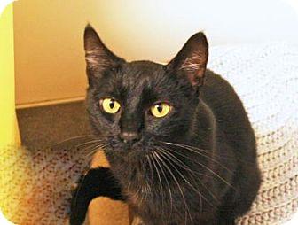 Domestic Shorthair Cat for adoption in Bellevue, Washington - Magnola