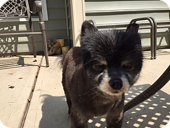 Pomeranian Mix Dog for adoption in Greensboro, North Carolina - Lincoln - ADOPTION PENDING!