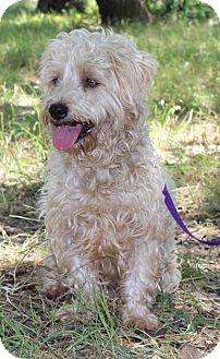 Wheaten Terrier/Maltese Mix Dog for adoption in Monroeville, Pennsylvania - NOLAN