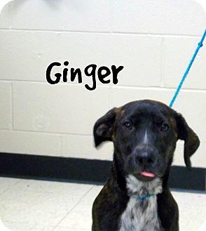 Boxer/Labrador Retriever Mix Puppy for adoption in Defiance, Ohio - Ginger