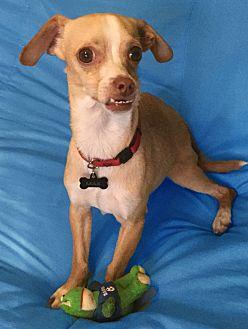 Chihuahua/Greyhound Mix Dog for adoption in San Francisco, California - Prince Max