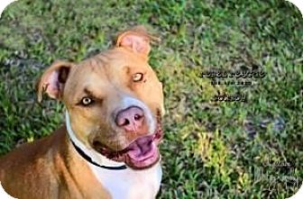 American Staffordshire Terrier Dog for adoption in Victoria, Texas - Cowboy
