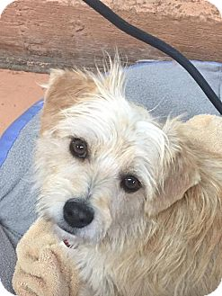 Terrier (Unknown Type, Small) Mix Dog for adoption in Tijeras, New Mexico - Nutmeg