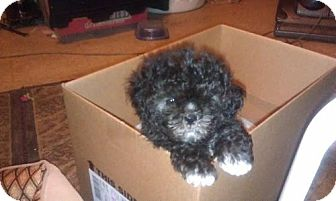 Maltese/Poodle (Miniature) Mix Puppy for adoption in Rye, New Hampshire - Theodore