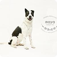 Akita/Great Pyrenees Mix Dog for adoption in Kansas City, Missouri - Maya