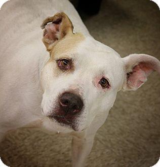 Pit Bull Terrier/American Staffordshire Terrier Mix Dog for adoption in Toledo, Ohio - Kira