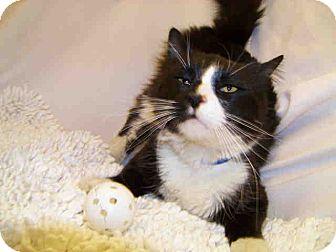 Domestic Longhair Cat for adoption in Fredericksburg, Virginia - Puddy Tat