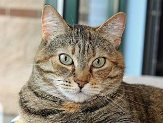 Domestic Shorthair Cat for adoption in Spokane Valley, Washington - Josie