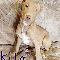 Adopt A Pet :: Kilo - Odessa, TX