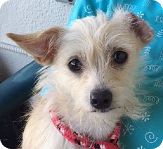 Terrier (Unknown Type, Small) Mix Dog for adoption in Canoga Park, California - Scraps