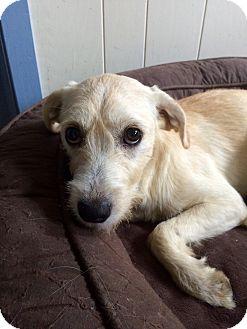 Schnauzer (Standard)/Terrier (Unknown Type, Medium) Mix Dog for adoption in East Hartford, Connecticut - Sally-in CT